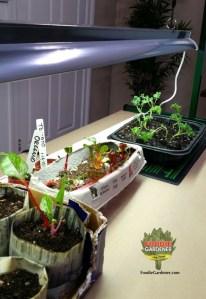 young vegetable plants grow under jump start grow light kit foodiegardener blog
