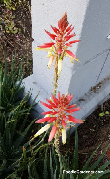 aloe-vera-orange-yellow-tubular-flowers-foodie-gardener-blog