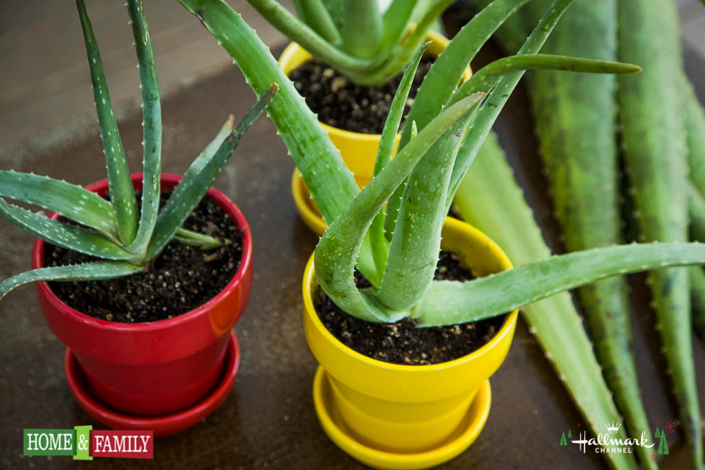 Grow Aloe Vera In Containers How To Extract Valuable Gel