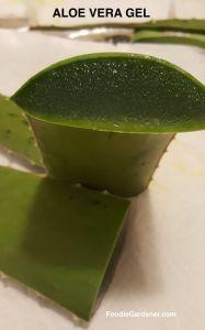 gel-filled-aloe-vera-plant-leaf-polysaccharide-hydrating-ingredient-used-in-skin-moisturizers-sun-burn-relief-internally-as-juice-for-digestion-foodie-gardener-blog