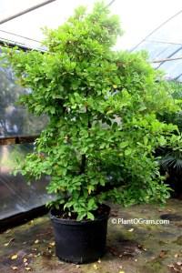 miracle-fruit-tree-sensipaylum-dulcificum-with-berries-foodie-gardener-blog