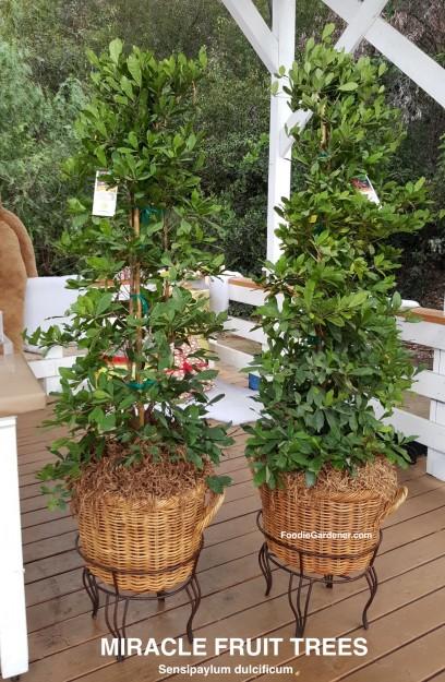 miracle-fruit-trees-as-houseplants-indoors-grow-miracle-fruit-berries-sensipaylum-dulcificum-foodie-gardener-how-to-grow