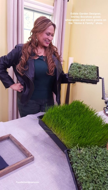 edible-garden-designer-shirley-bovshow-grows-wheatgrass-microgreens-foodie-gardener-blog