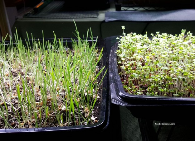 micro-greens-wheatgrass-continue-to-grow-and-green-up-foodie-gardener