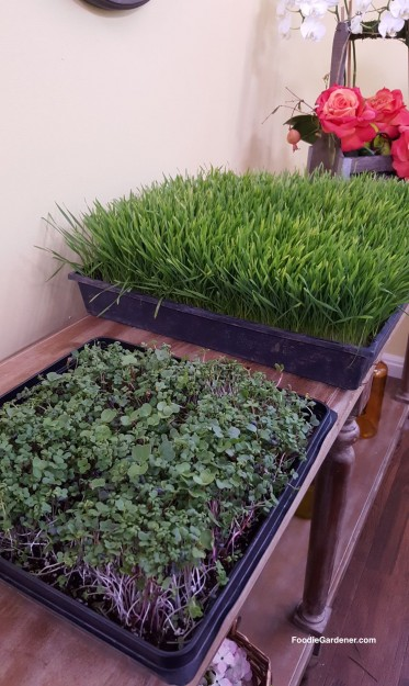savory-microgreen-mix-wheatgrass-ready-to-juice-day10-foodie-gardener