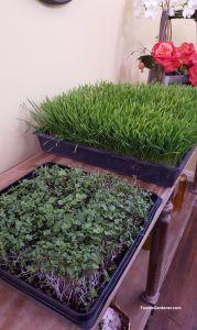 savory-microgreen-mix-wheatgrass-ready-to-juice-day10-foodie-gardener