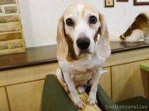 Bau House: Annie (Beagle)