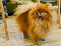 Bau House: Pomeranian