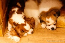 Bau House: Cho won and Bissal (Cavalier King Charles Spaniel & X-File)