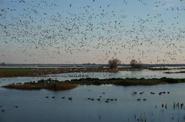 Flocks of birds having a fly-up