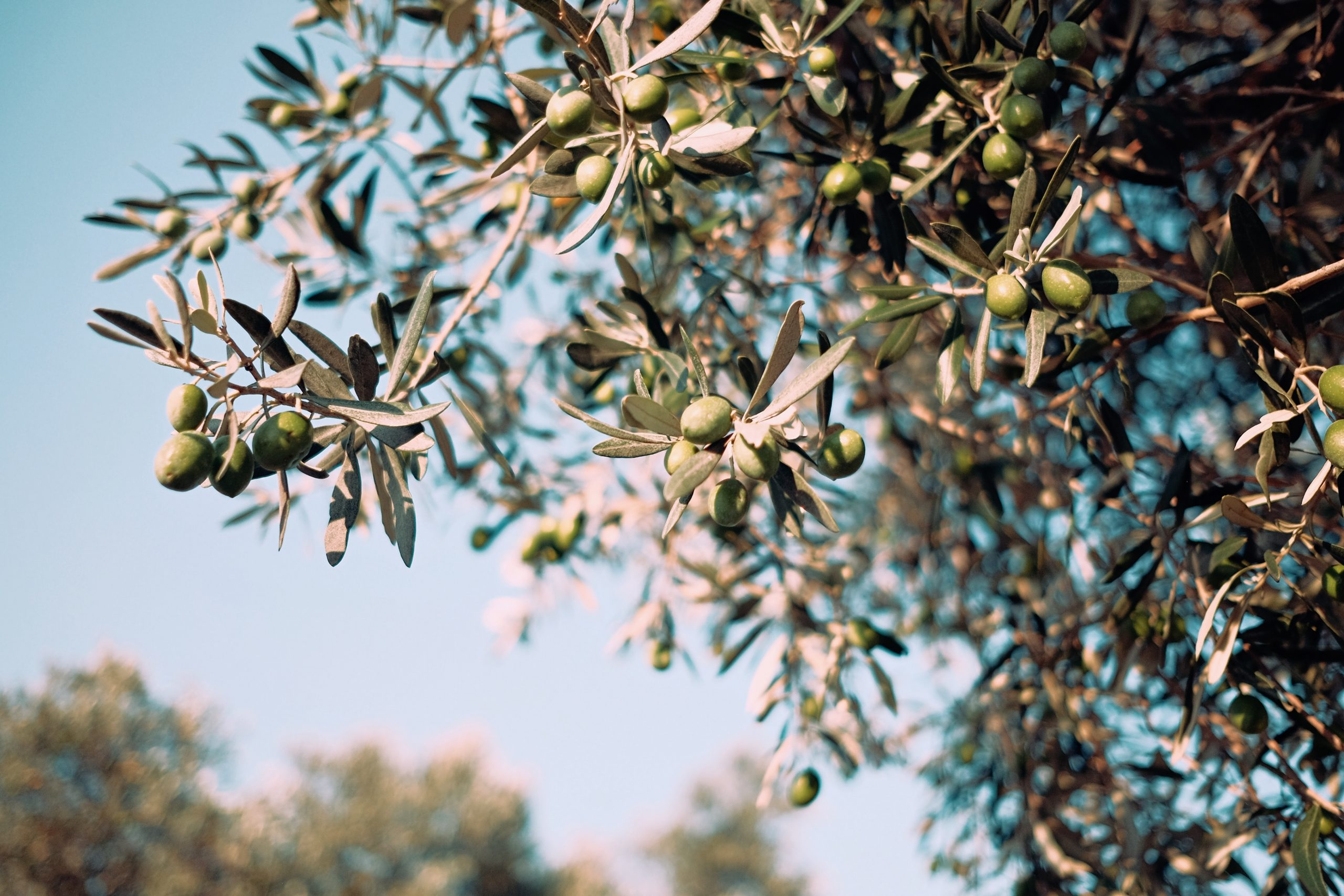 UK Olive Oil Market in 2020 and Turkish Olive Oil in the UK