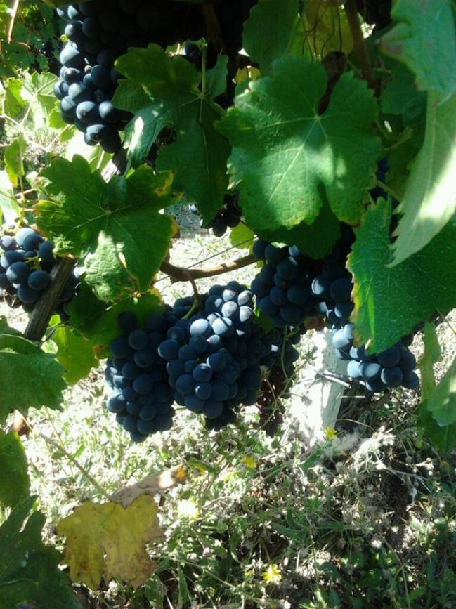 Lambrusco grapes shade 2