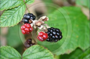 Hedgerow foods are fantastic sources of vitamin C