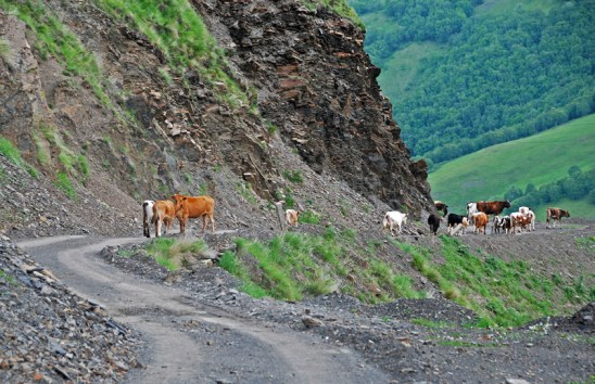 Road to Shatili - Cows