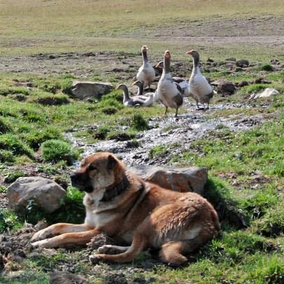 Azerbaijan - Road to Quba - Geese