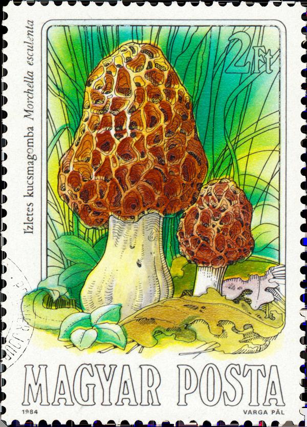 Morel Mushroom - Hungary, circa 1984