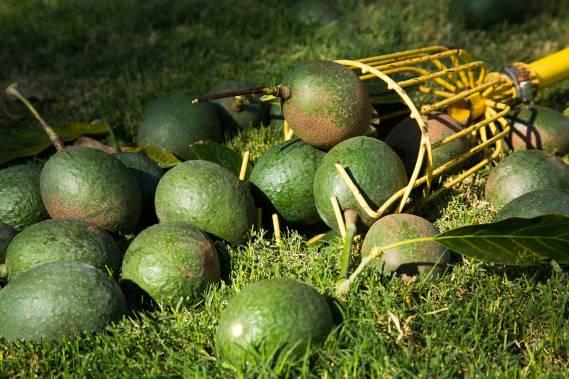 Avocado-Harvest