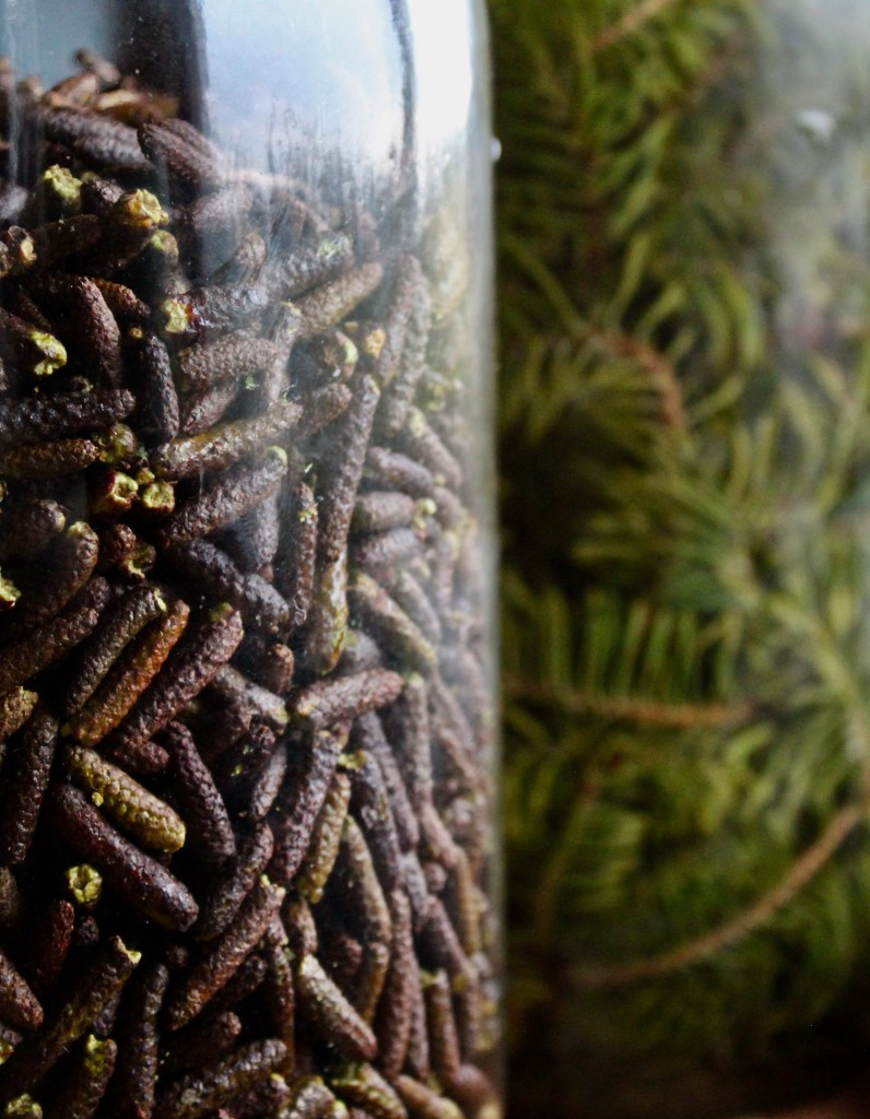 Closed Alder ready for infusing. Fir in the background.