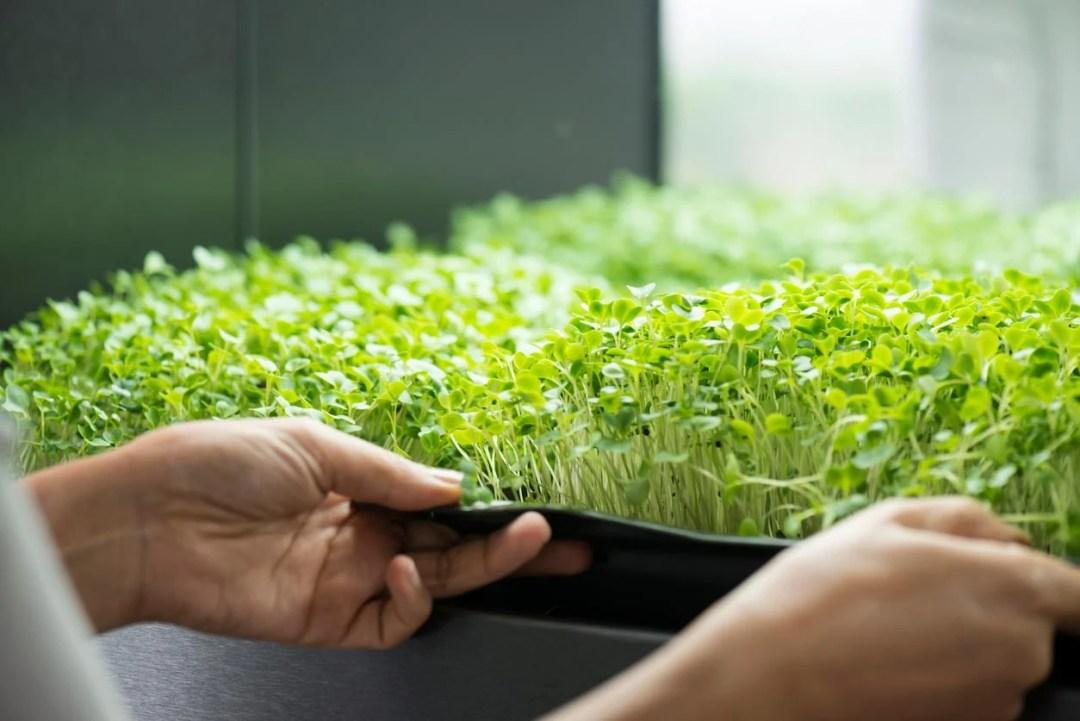 托盤中的微型蔬菜