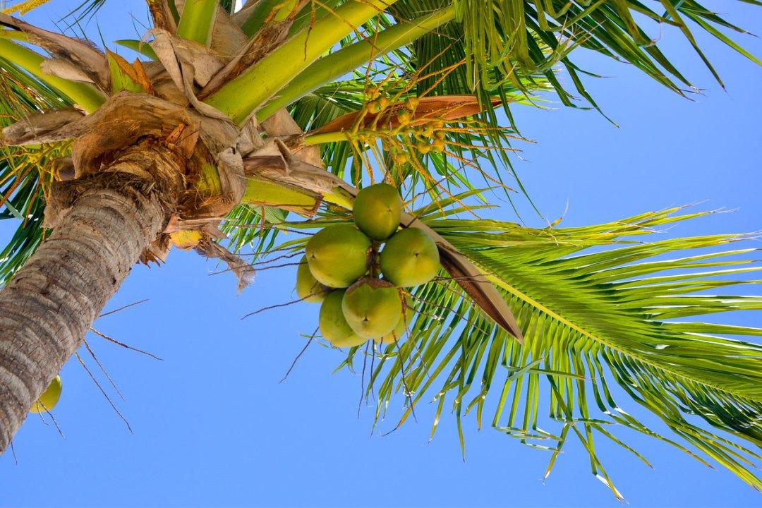 椰子棕櫚樹