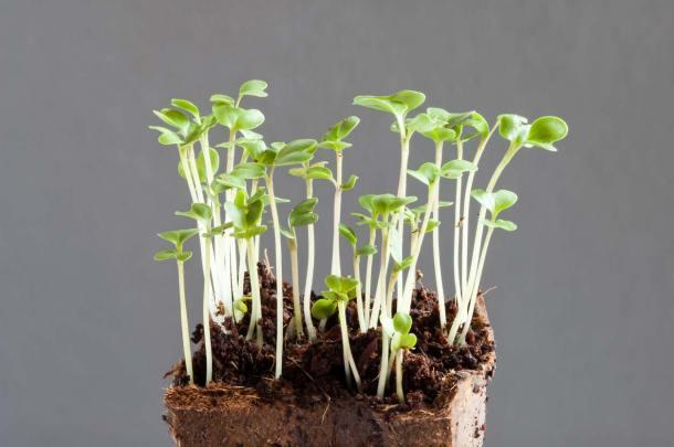 broccoli sprouts in egg carton