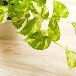 Pothos Plant ( Money Plant) health benefits