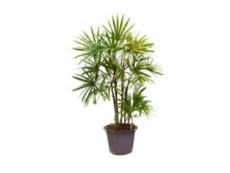 lady palm health benefits and air purification