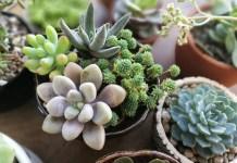 Succulents benefits