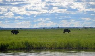 chobe-river-07-buffalo-1