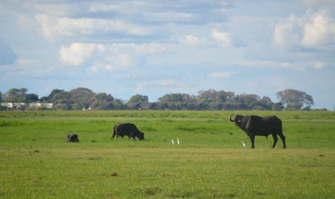 chobe-river-07-buffalo-3