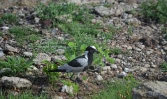 chobe-river-bird-1