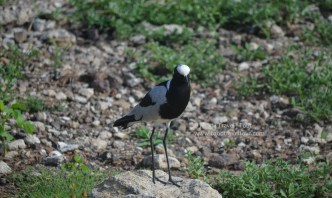 chobe-river-bird-2