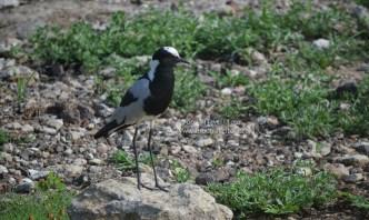 chobe-river-bird-3