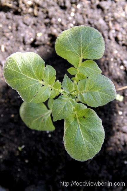 Potatoe plant