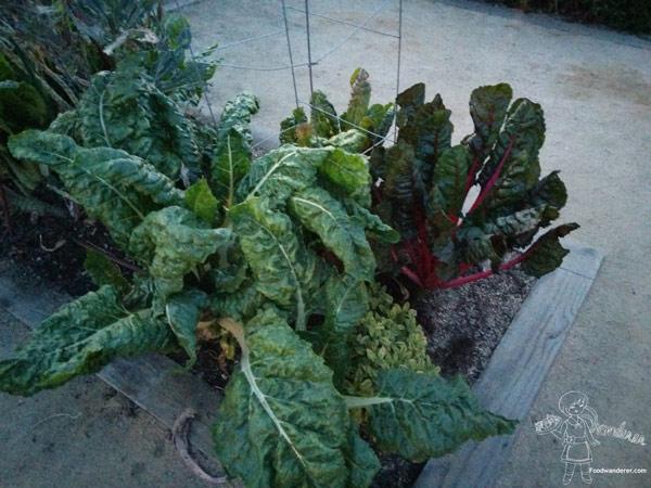 Kale plants? Lettuce Plants?