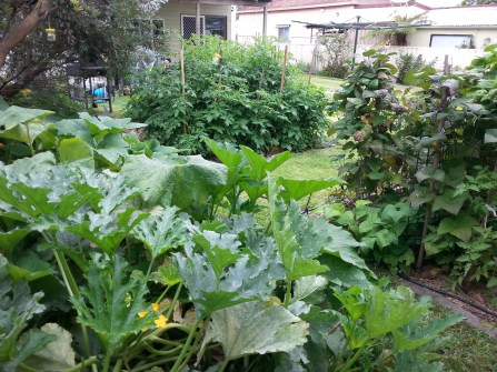 Zucchinis, beans and tomato plants