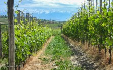 The vineyards are broken into many little sections, independently owned. This row is managed by a winery that uses chemicals.
