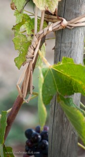 Each vine is tied to the post by hand; every year.