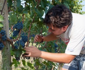 Three weeks from harvest, drop 1/2 the fruit from every bunch to maximize quality.