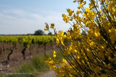 Flowers at the edge of the vineyard.