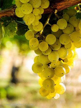 Kerner grapes at Mokelumne Glen Vineyards.