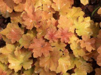 Alum root - beige-golden leaves.