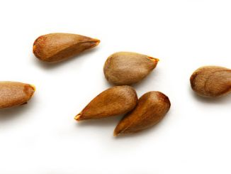 Dry apple seeds on the white background. Used for making apple seed oil.