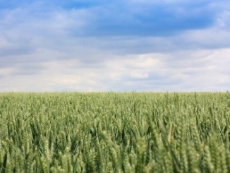A field of wheat with a blue sky backdrop.