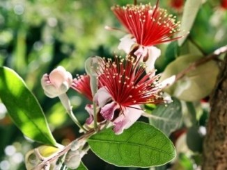 Feijoa flowers are beautiful.
