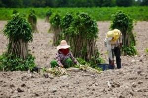 Women collecting cassava roots in an open field