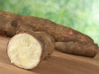 Raw cassava (lat. manihot esculenta) on wood with green background (selective focus, focus on the front)