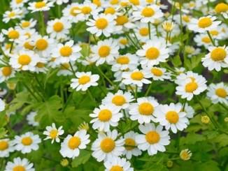 Flowers of Tanacetum parthenium (Feverfew).