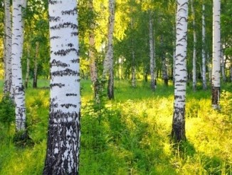 A birch forest in early morning sunlight.
