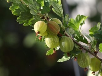 Gooseberry fruit on a spiky branch of a bush.